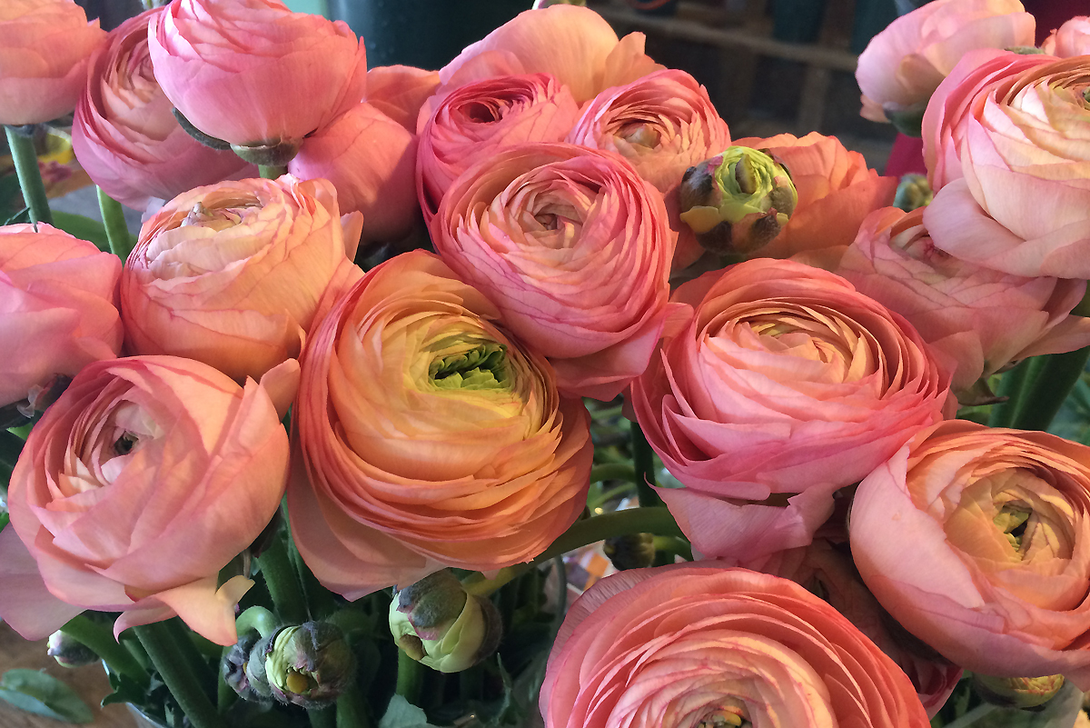 Ranunculus in coral peach