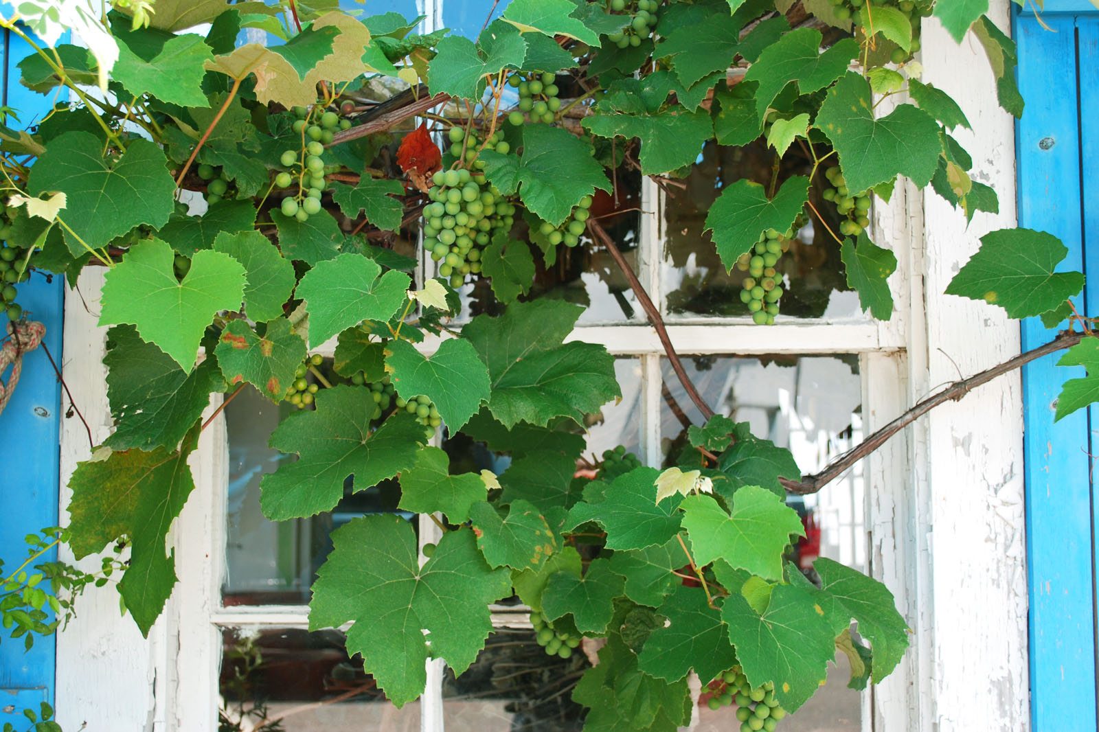 grapevines_02